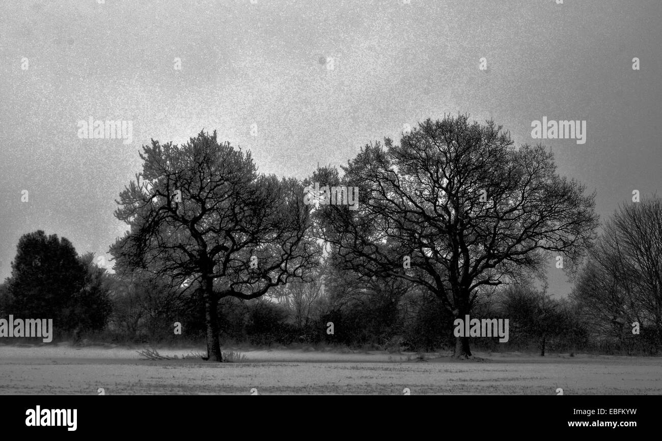 black and white photo of two trees in winter - Stock Image