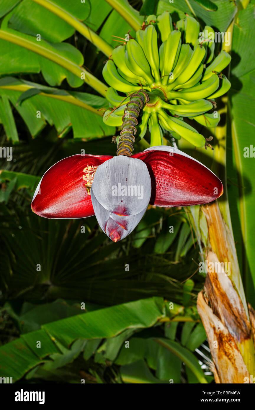 WASP FEEDING ON NECTAR FROM BANANA FLOWER MUSA ACUMINATA - Stock Image