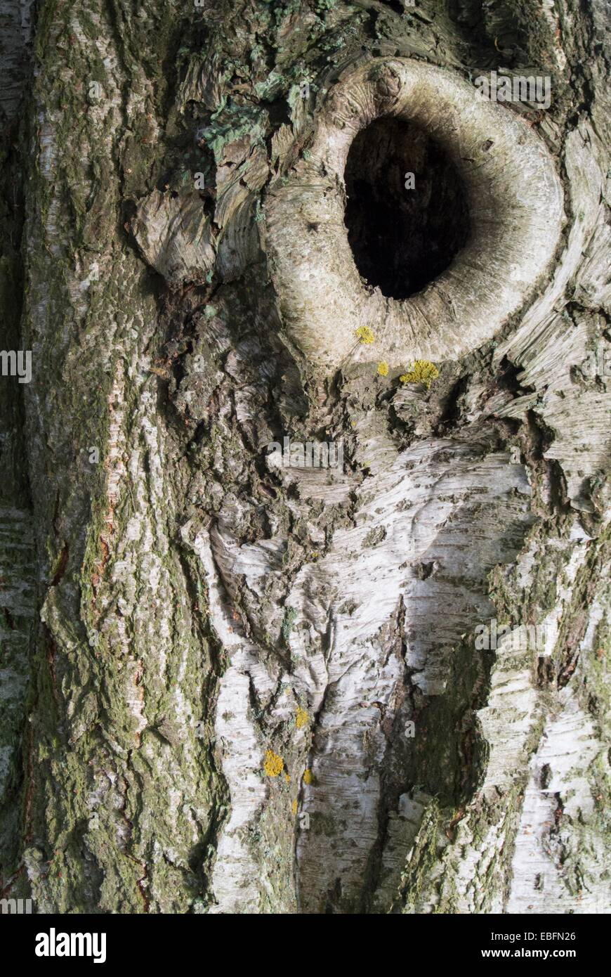 Birch tree Bole - Stock Image