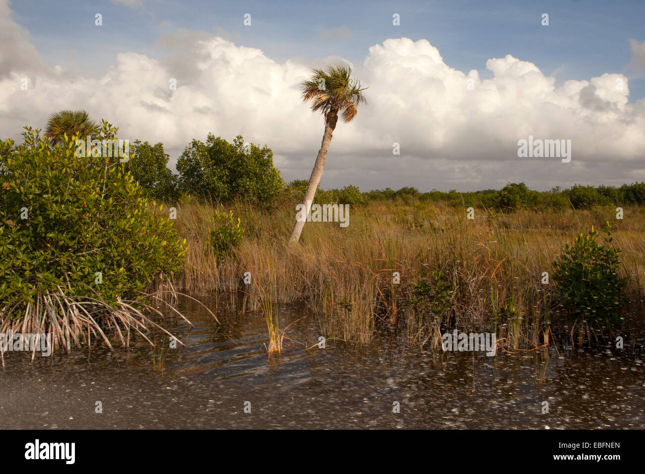 Sawgrass in the Everglades during an airboat tour near Everglades City on the Tamiami Trail in South Florida. - Stock Image