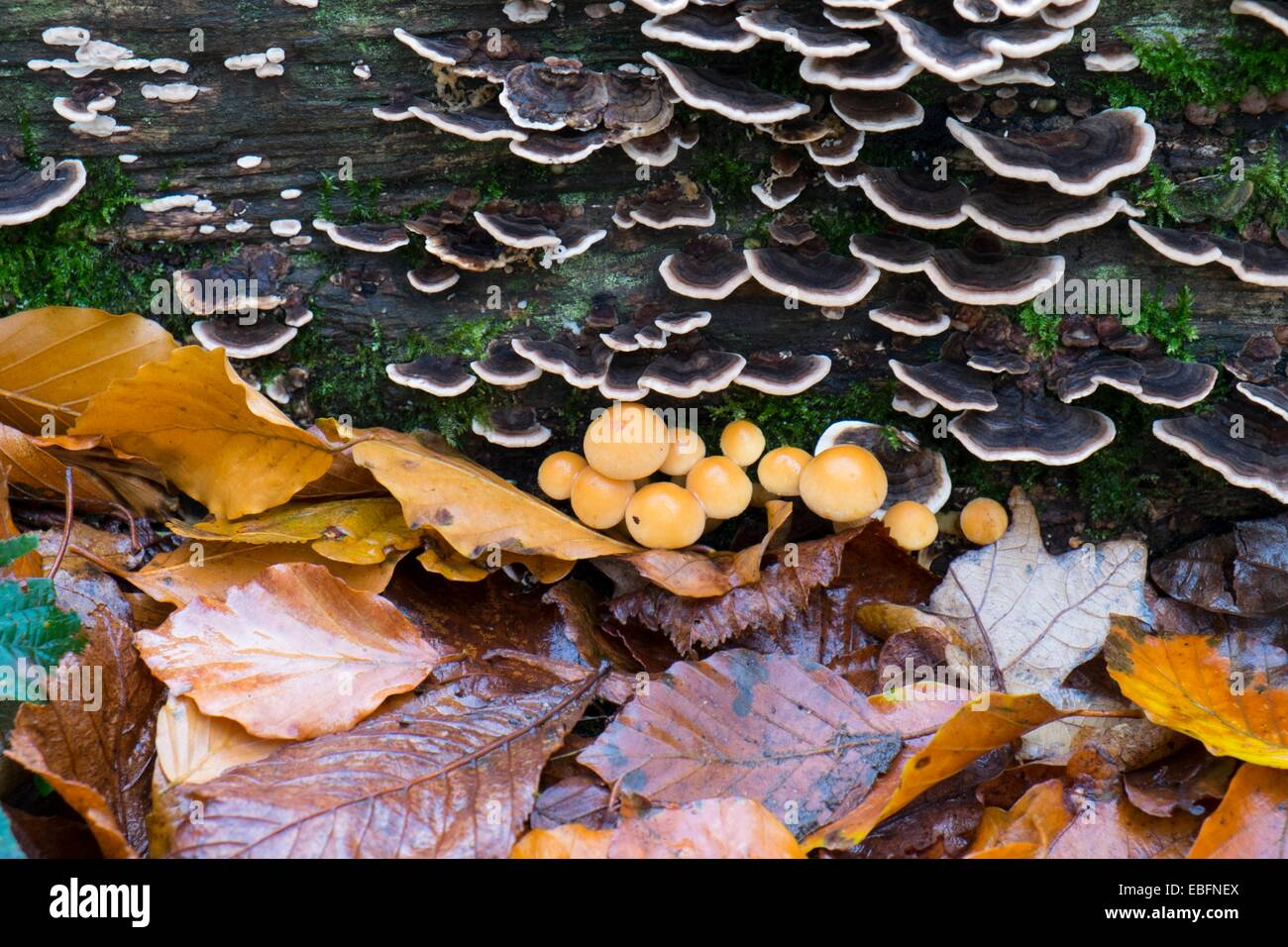 Turkeytail Bracket fungus and fallen leaves. - Stock Image