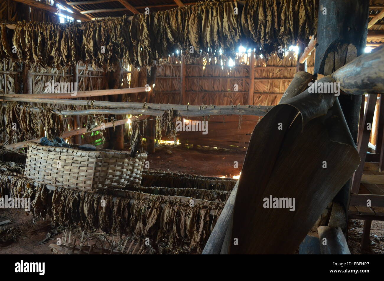 Tobacco leaves hang to dry inside a barn on a plantation in the Vinales region of Cuba - Stock Image