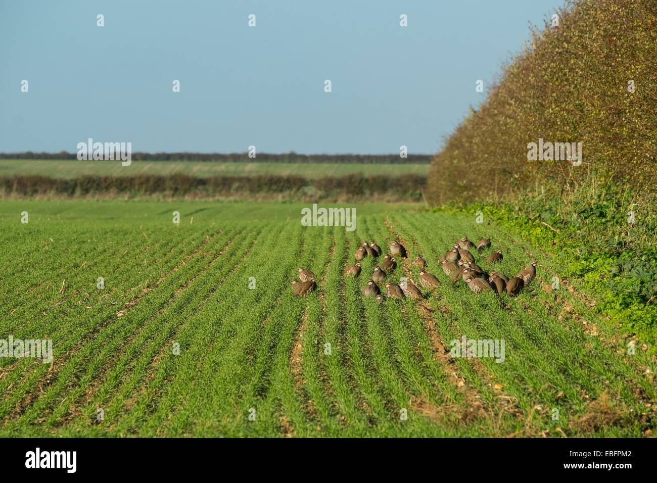 Covey of French Partridges - The red-legged partridge Alectoris rufa on winter wheat crop - Stock Image