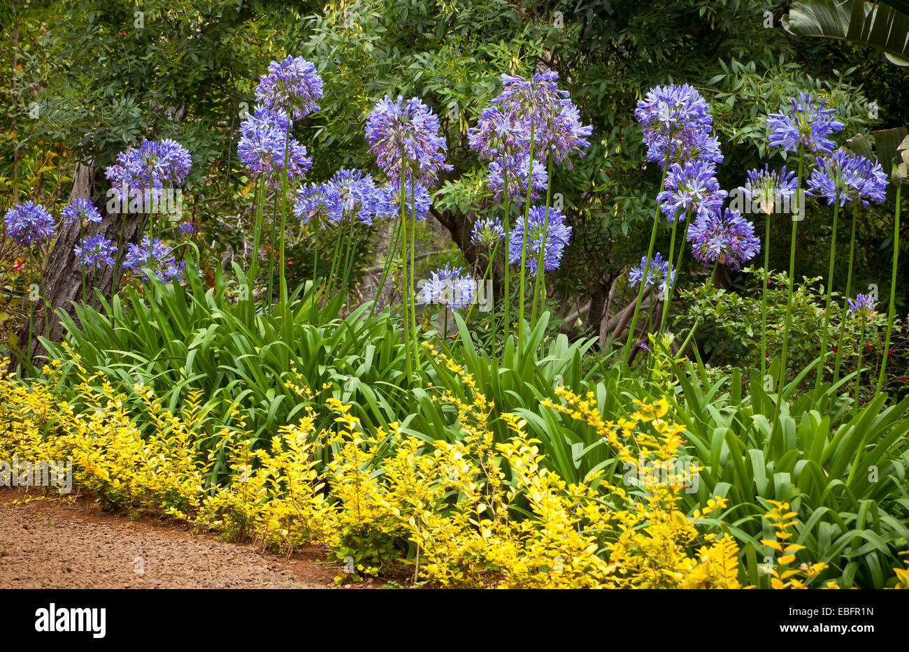 Blue African Lily (Agapanthus Africanus) flowers in the garden - Stock Image