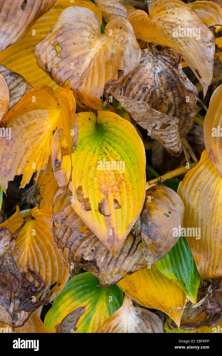 Decaying hosta foliage - Francis Williams. - Stock Image
