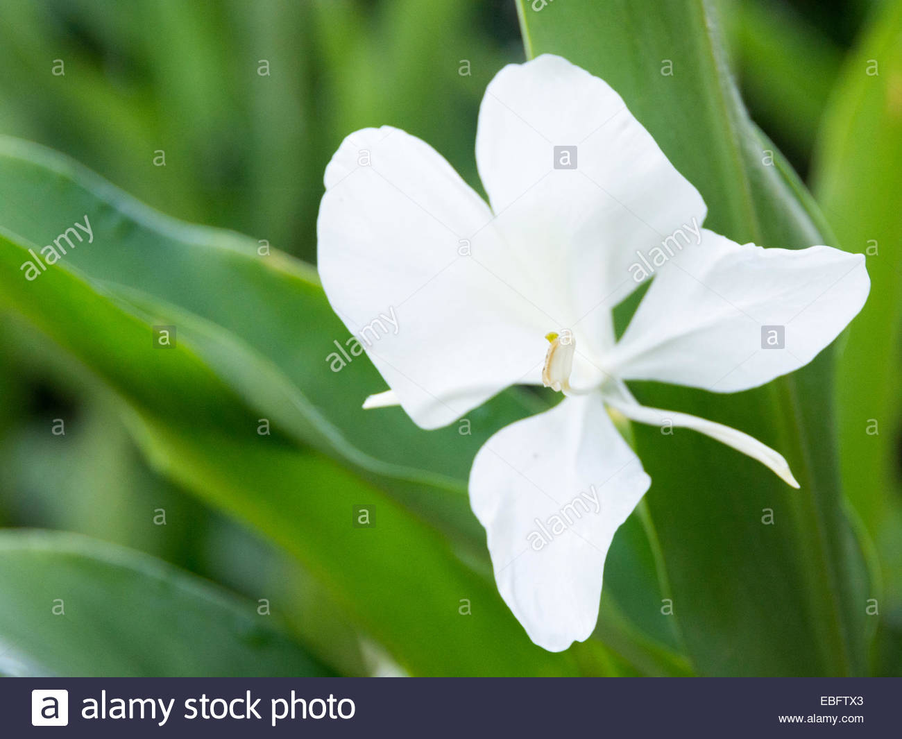 The Cuban National Flower Is The White Ginger Lily Hedychium Stock