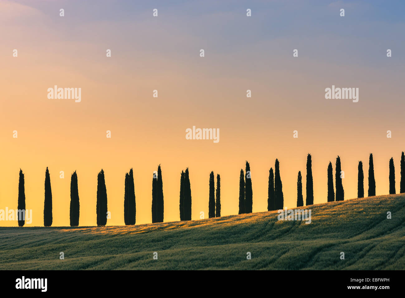 In the heart of Tuscany, some famous Cypress trees near Agriturismo Poggio Covili - Stock Image