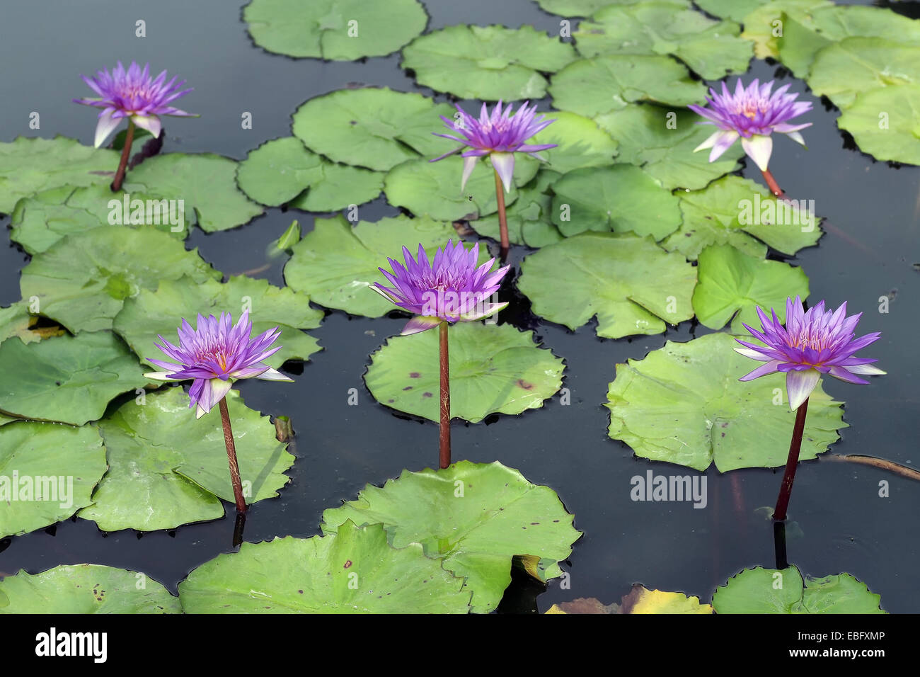 Beautiful lotus flower in the pond stock photo 75952934 alamy beautiful lotus flower in the pond izmirmasajfo