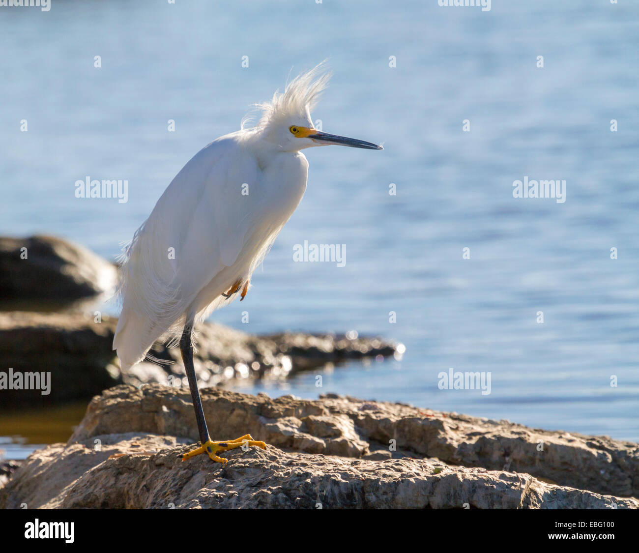 Snowy egret (Egretta thula) at a windy day, Galveston, Texas, USA - Stock Image