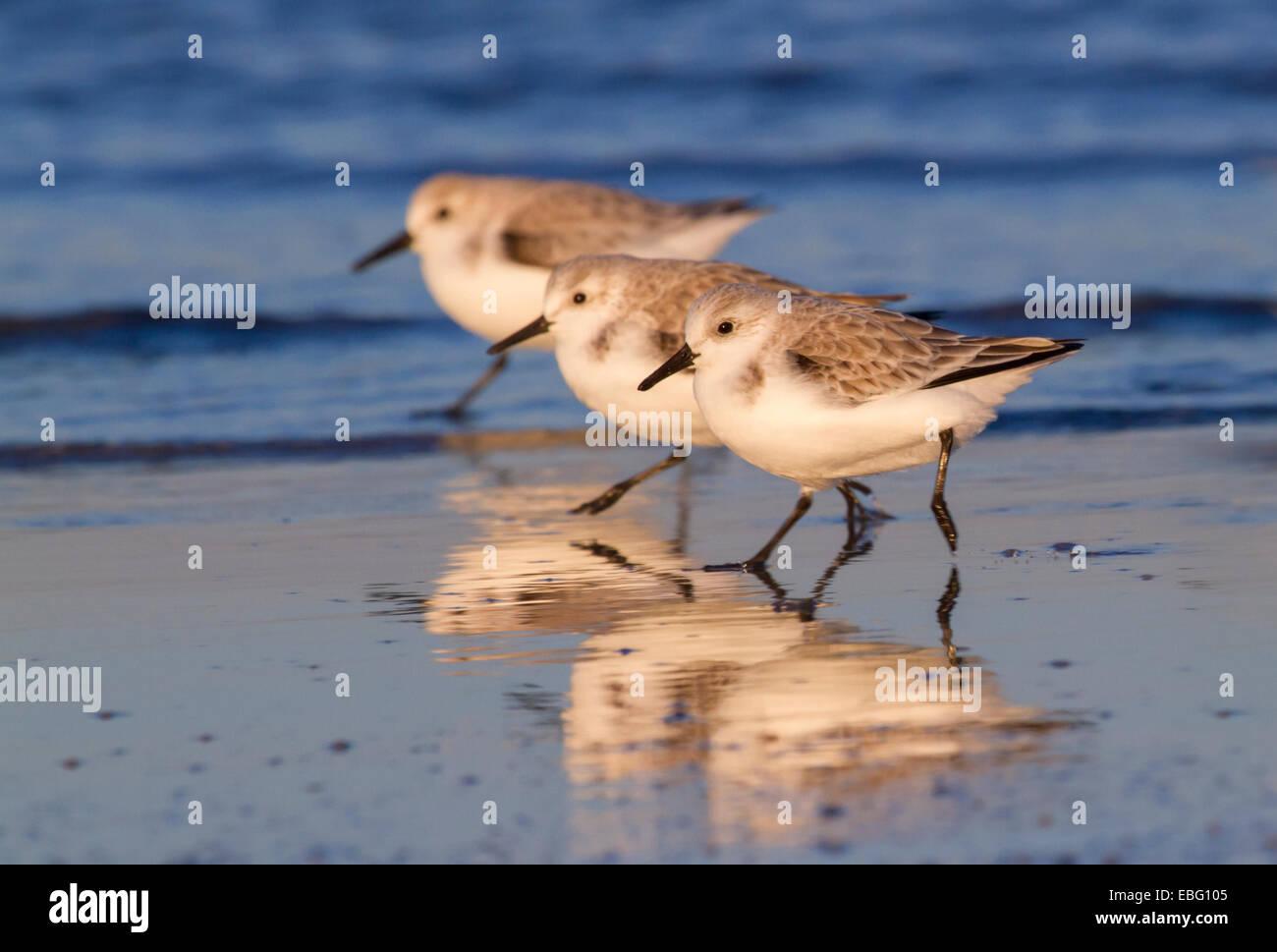 A group of sanderlings (Calidris alba) in winter plumage