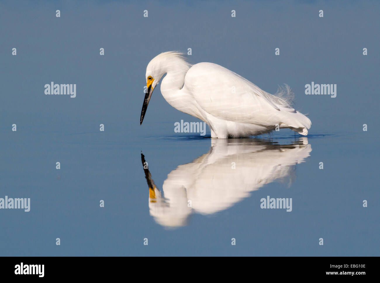 Snowy egret (Egretta thula) foraging in a quiet lake at early windless morning, Galveston, Texas, USA. - Stock Image