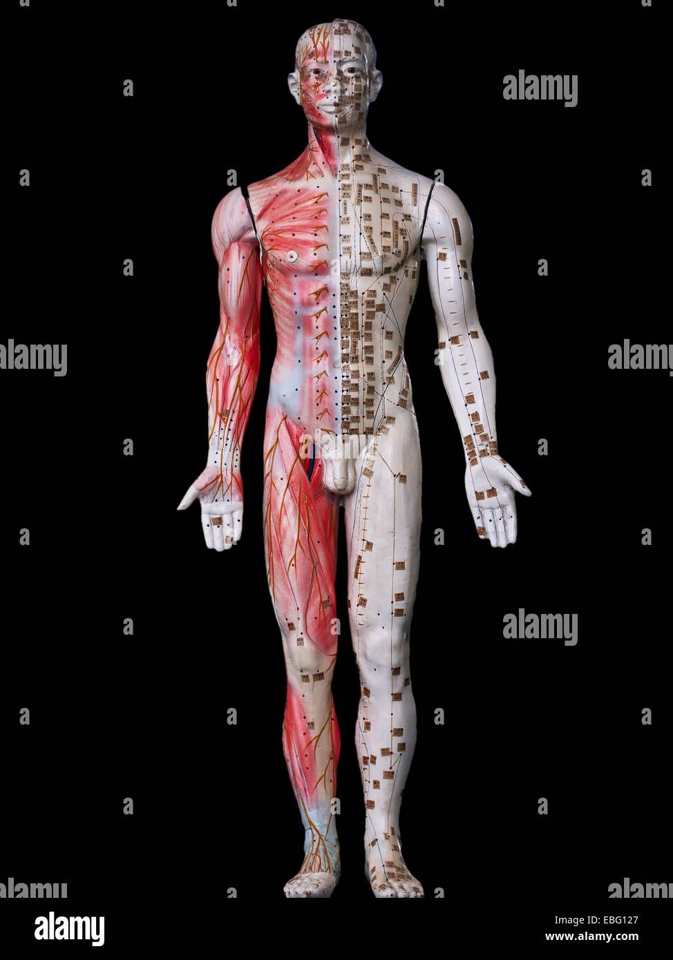 Anatomical Man And Skeletal Muscle Detail Stock Photo 75954767 Alamy