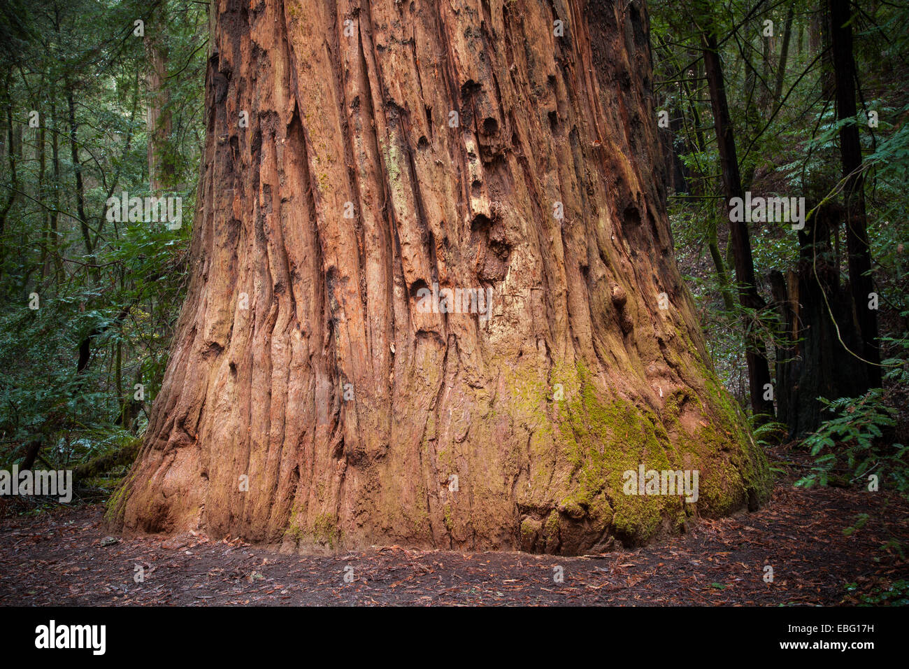 Colonel Armstrong tree. Armstrong Redwoods State Natural Reserve - Stock Image