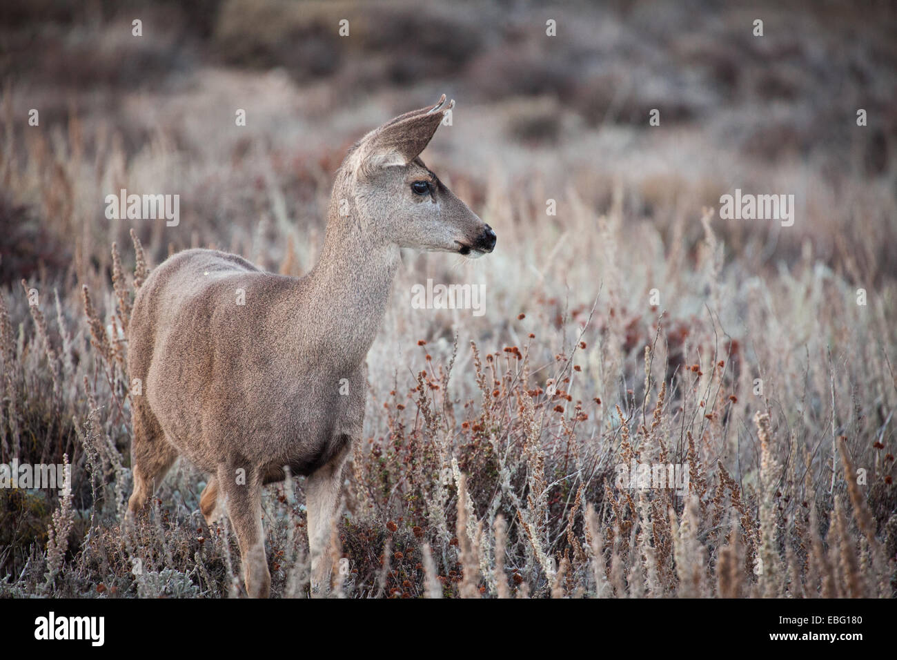 Black-tailed deer at Point Lobos State Reserve, California. - Stock Image