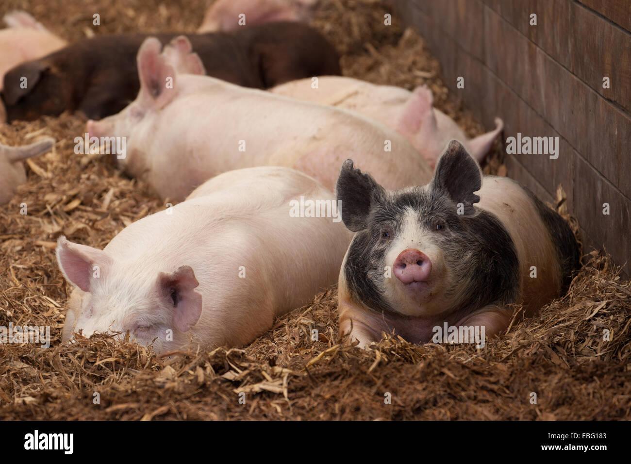 Finisher hogs inside barn. ISU Swine Farm. Ames, Iowa. - Stock Image