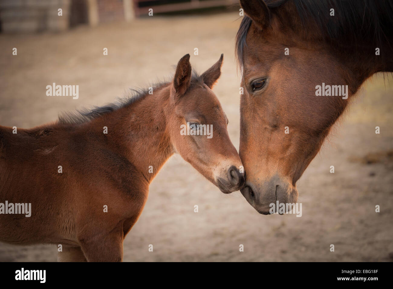 Foal and mother horse touching noses. Iowa State University horse barn. - Stock Image