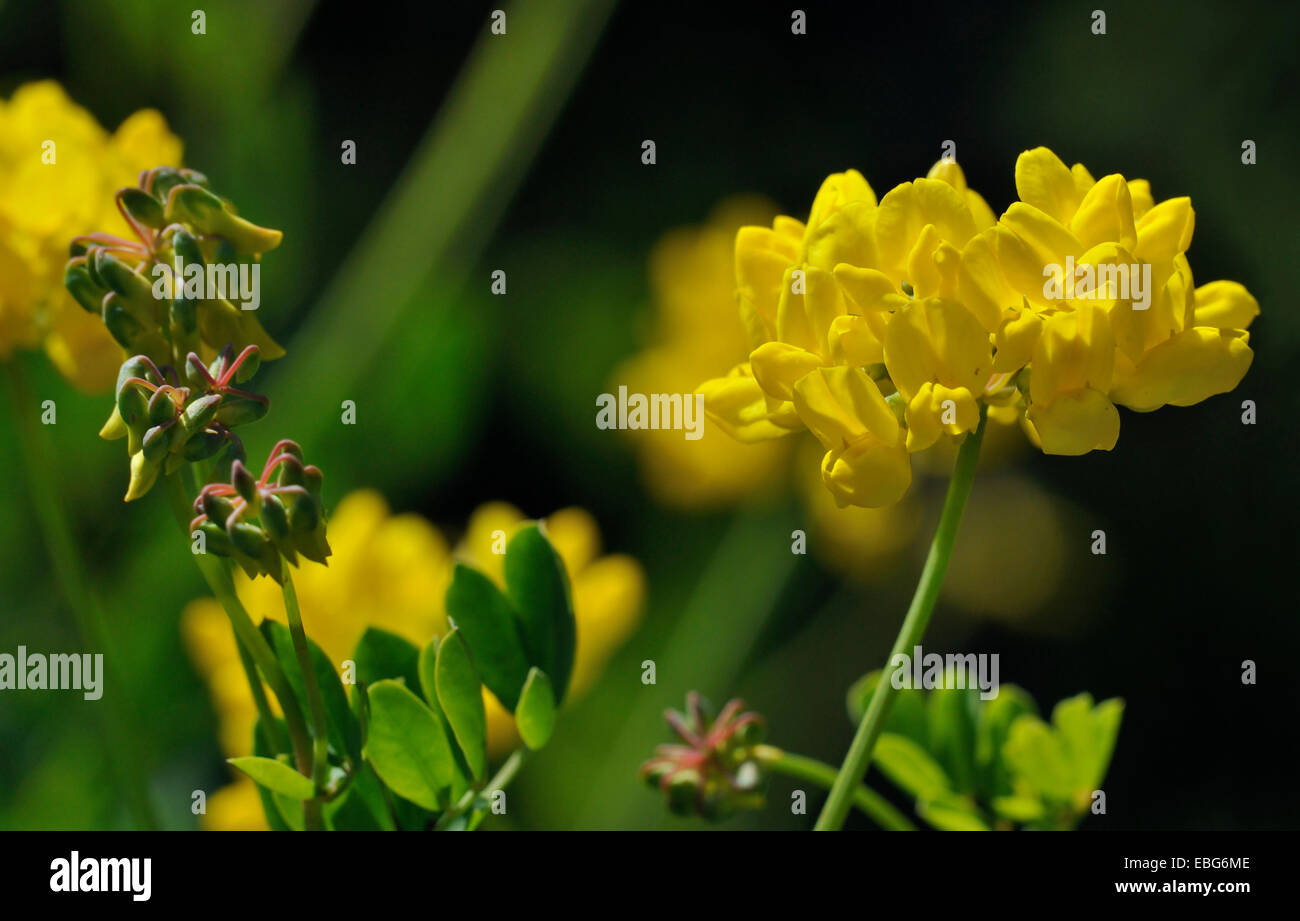 Yellow vetch flower stock photos yellow vetch flower stock images scorpion vetch coronilla coronata yellow legume flower stock image mightylinksfo