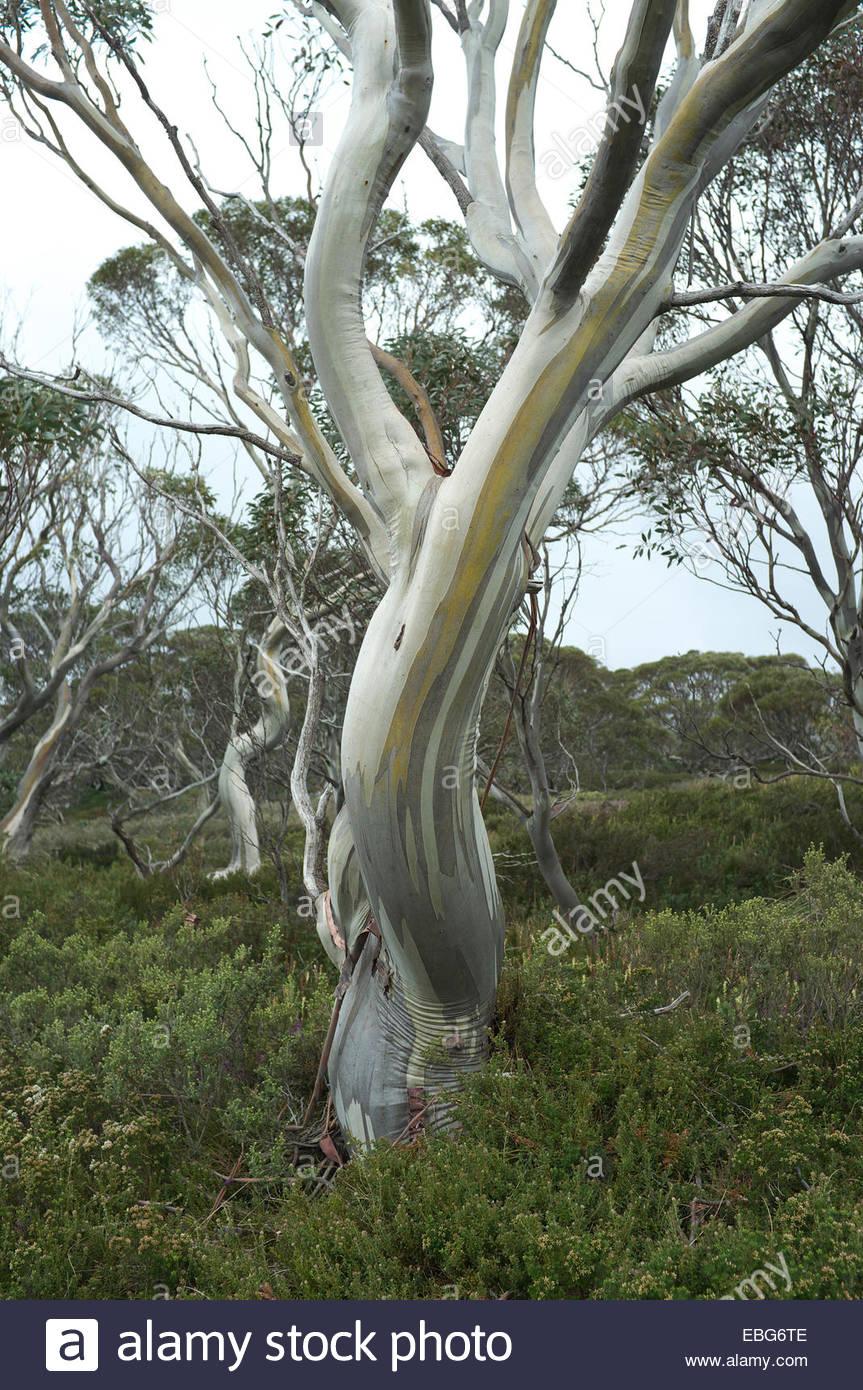 Kosciuszko National Park - snow gum tree (Eucalyptus pauciflora) on the Charlotte Pass to Mt.Kosciuszko summit trail. - Stock Image