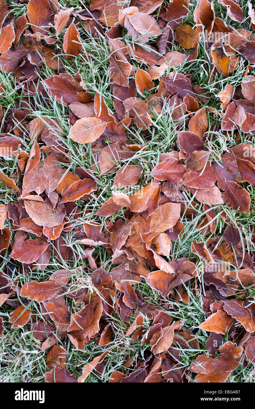Fallen beech leaves on grass in the frost Stock Photo