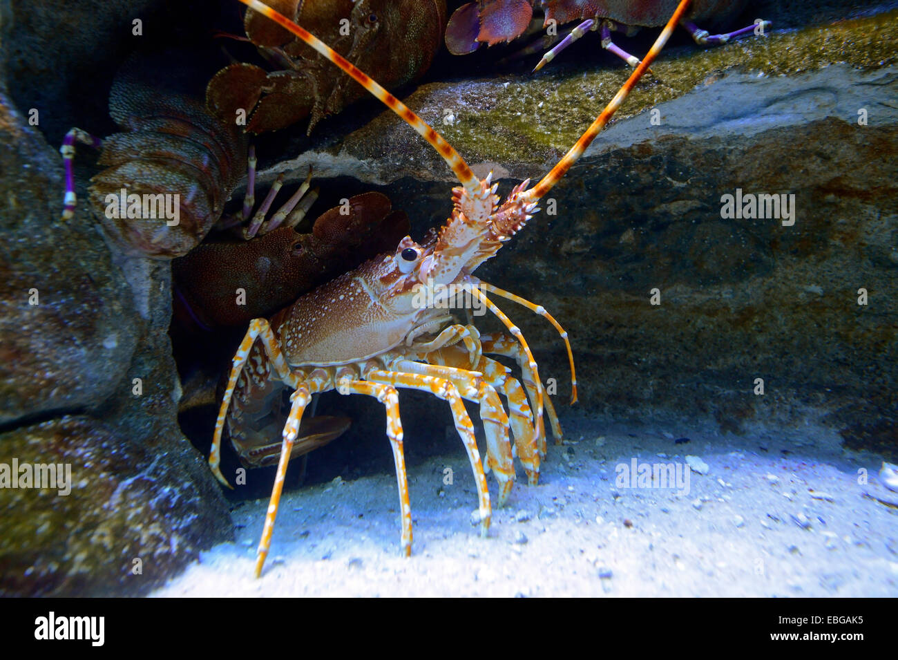 Natal Spiny Lobster (Palinurus delagoae), captive, Cape Town, Western Cape, South Africa - Stock Image