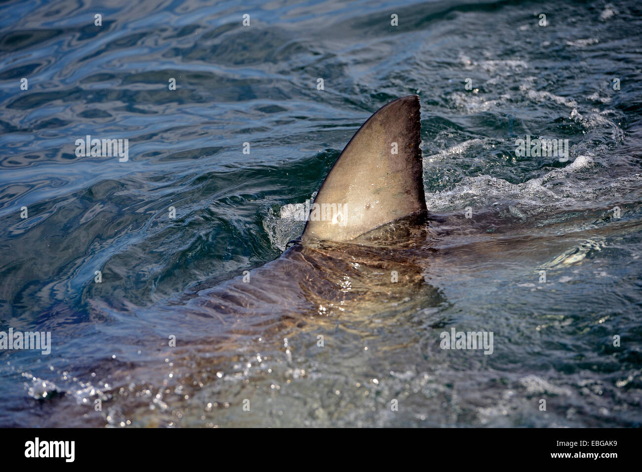 Great White Shark (Carcharodon carcharias), dorsal fin, Seal Island, Western Cape, South Africa - Stock Image