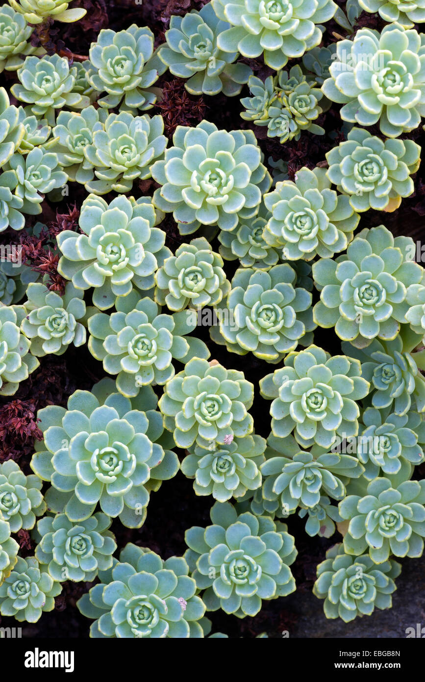 Gray Stonecrop (Sedum pachyclados), native to Pakistan and Afghanistan, Botanical Garden of the University of Innsbruck - Stock Image
