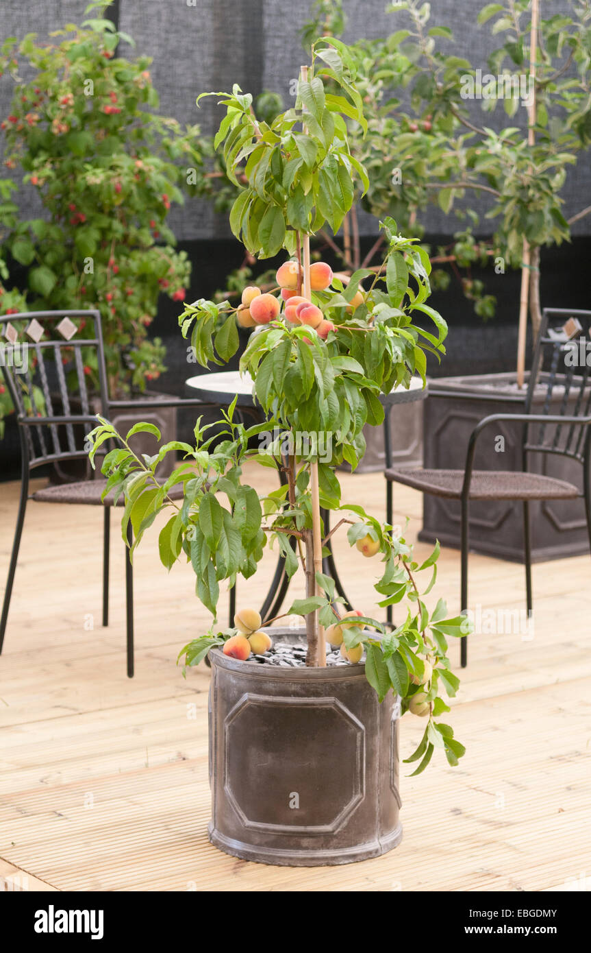 container peach tree  on decking - Stock Image