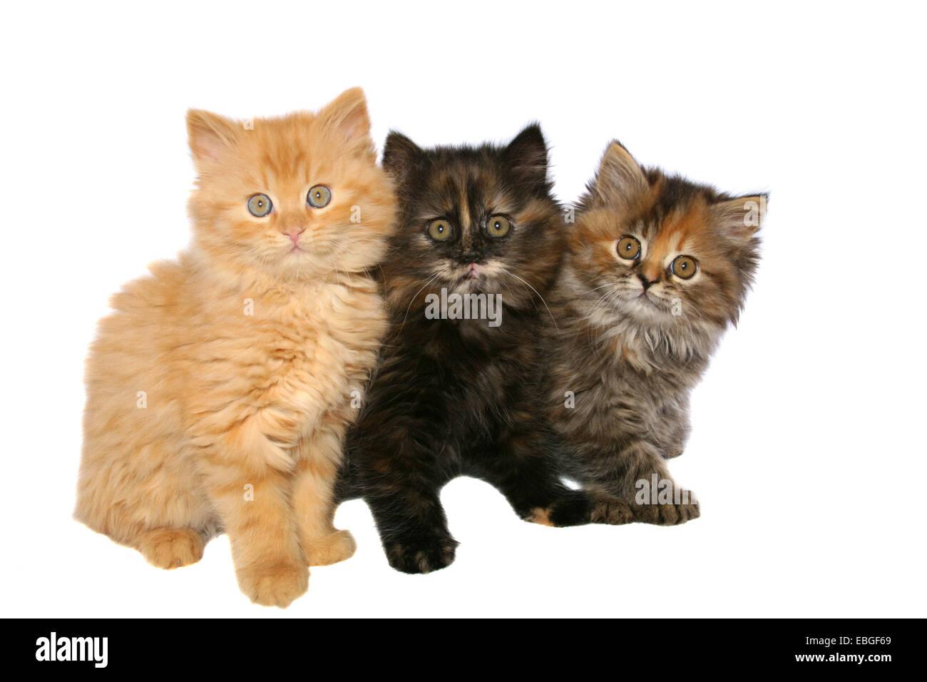 German Longhair kitten Stock Photo