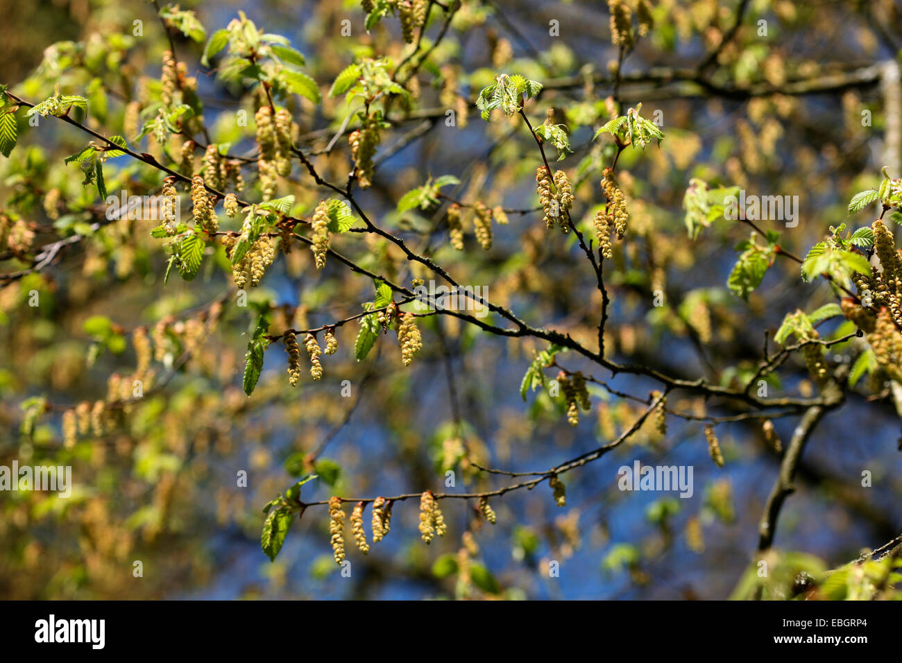 carpinus betulus tree abundant drooping pods in Spring  Jane Ann Butler Photography JABP1389 - Stock Image