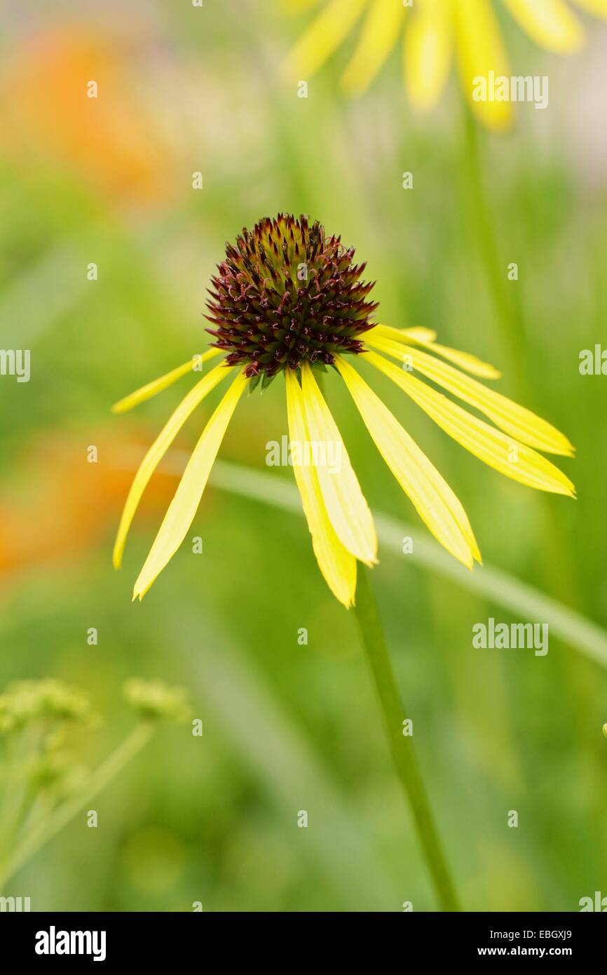Ozark coneflower. Related to pale purple coneflower. - Stock Image