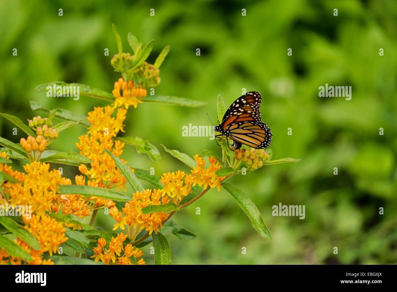 Monarch butterfly eggs