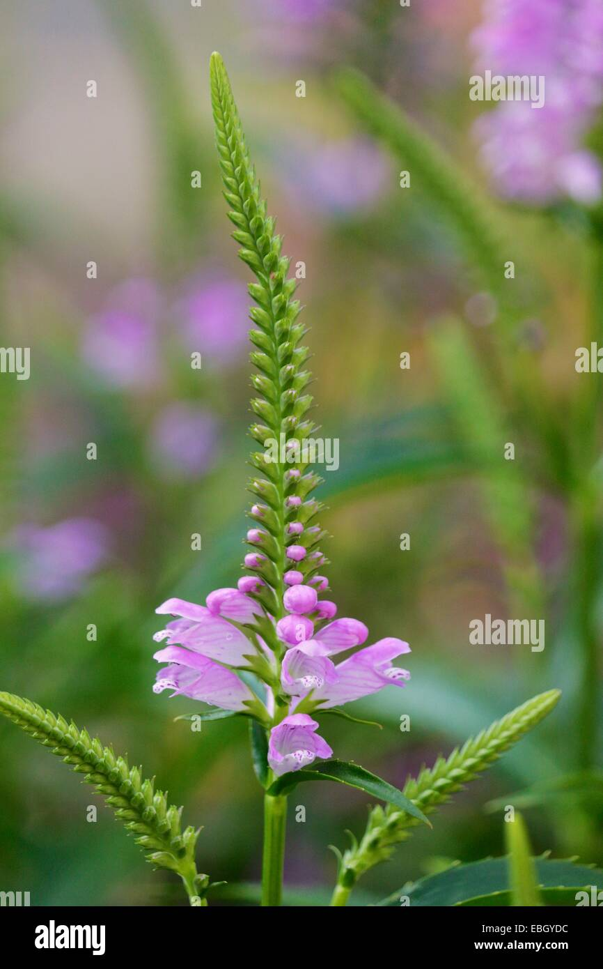Obedient plant flower. - Stock Image