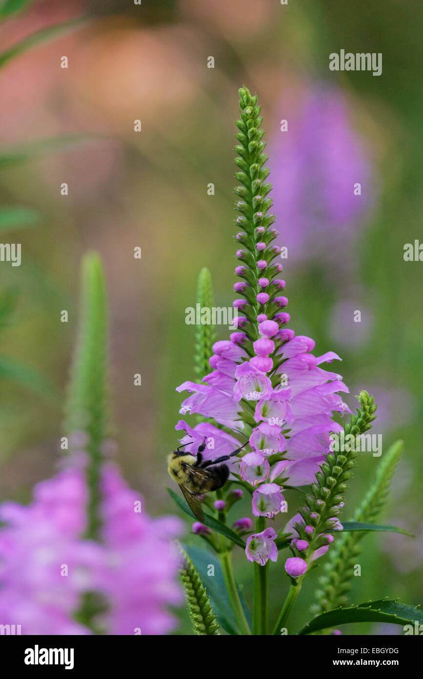 Bumblebee on obedient plant flower. - Stock Image