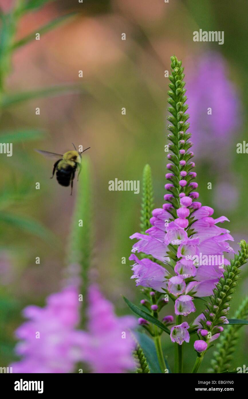 Obedient plant flower with bumblebee in flight. - Stock Image