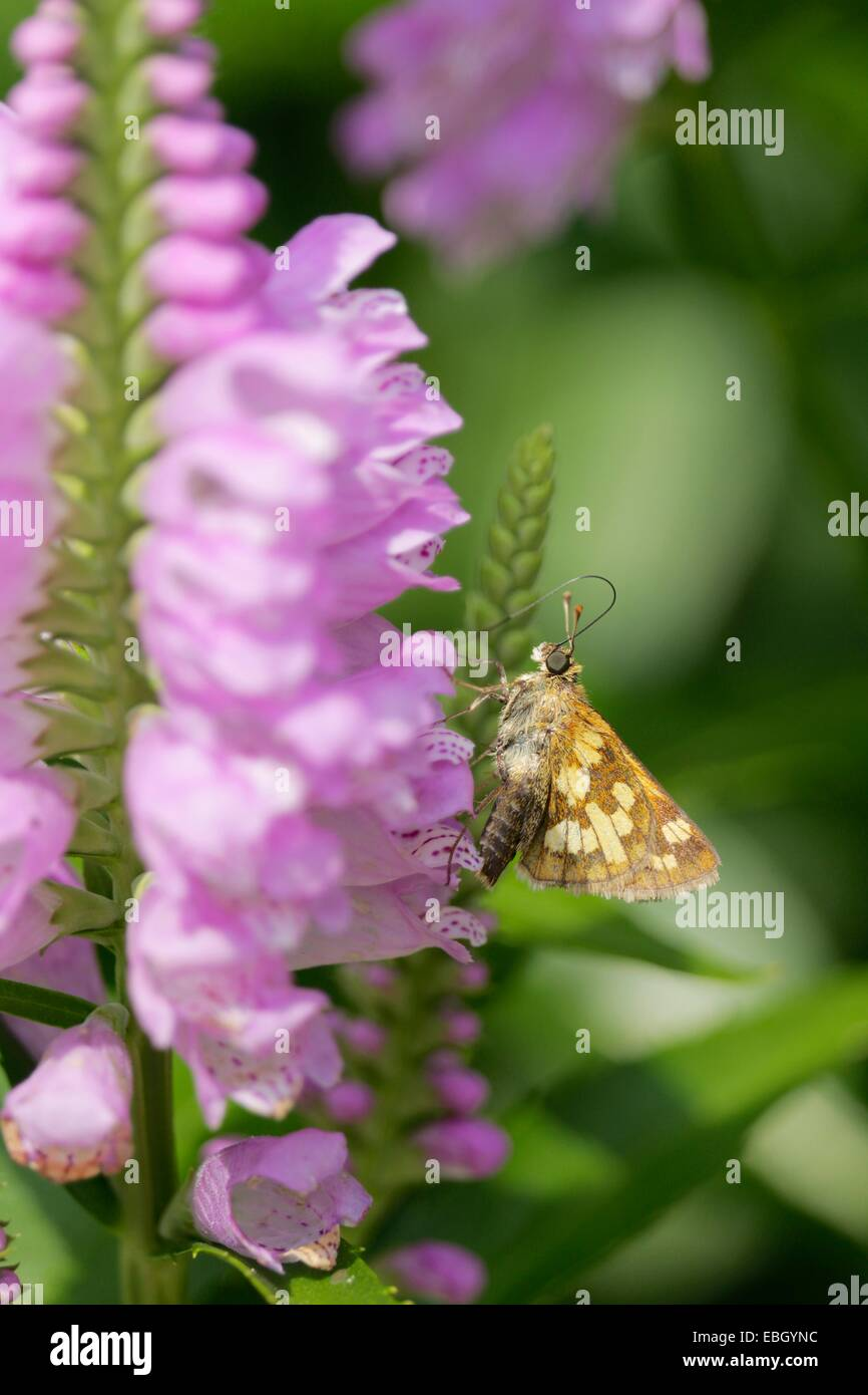 Peck's skipper butterfly on obedient plant - Stock Image