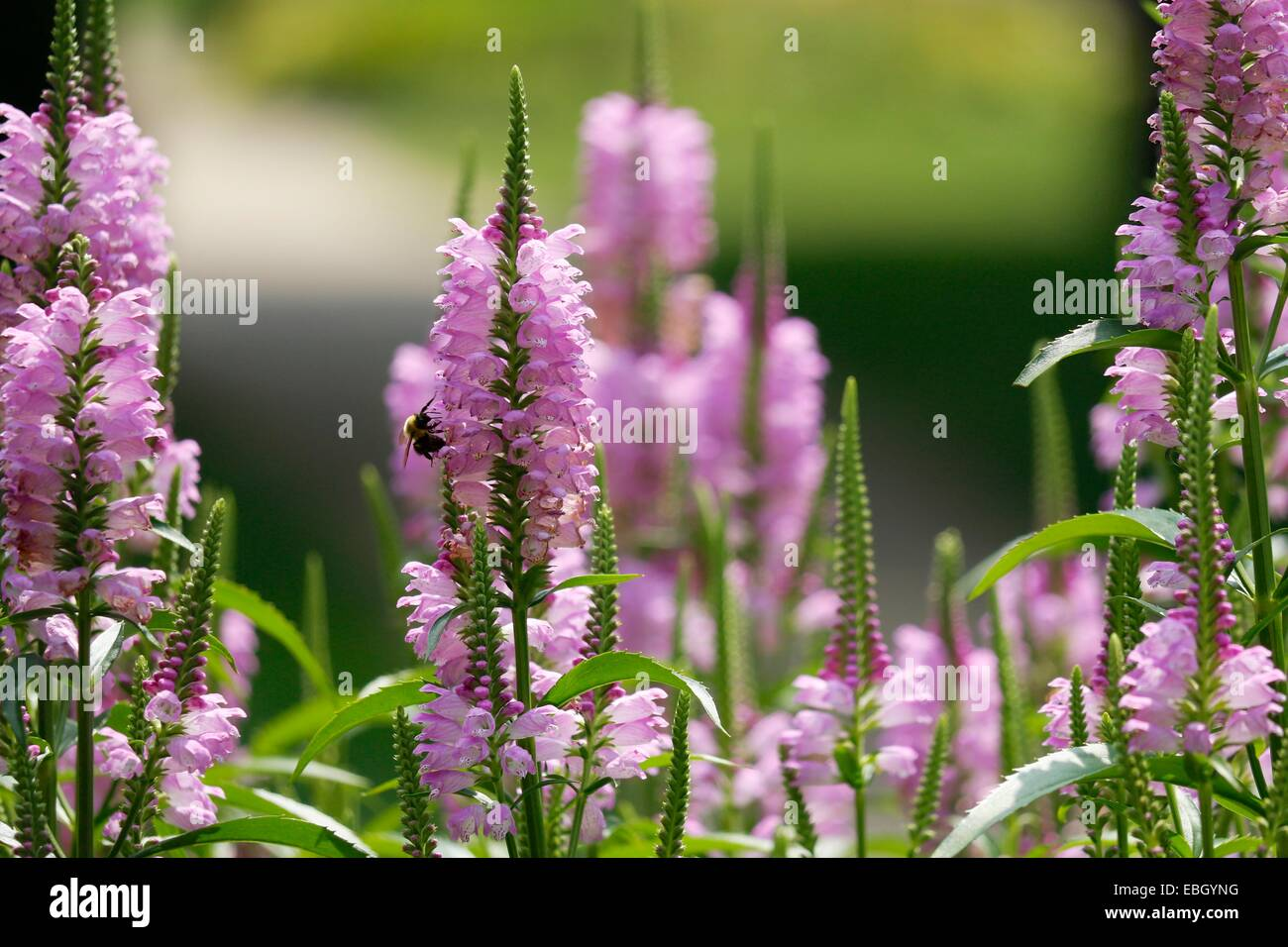 Obedient plant flowers with bumblebee. - Stock Image