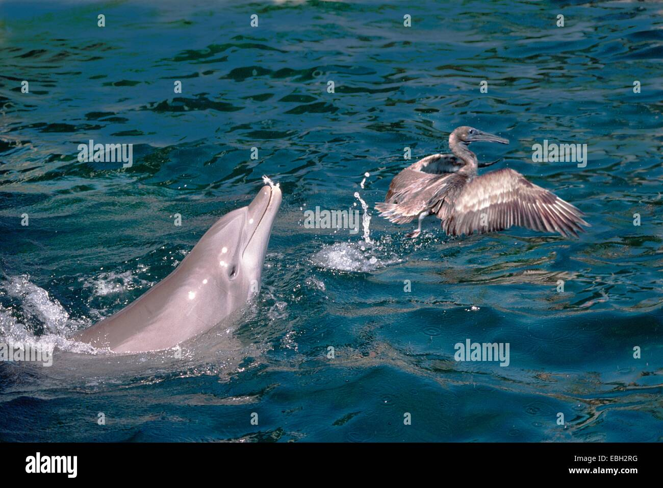 bottlenosed dolphin, common bottle-nosed dolphin (Tursiops truncatus), pricking a pelican. - Stock Image