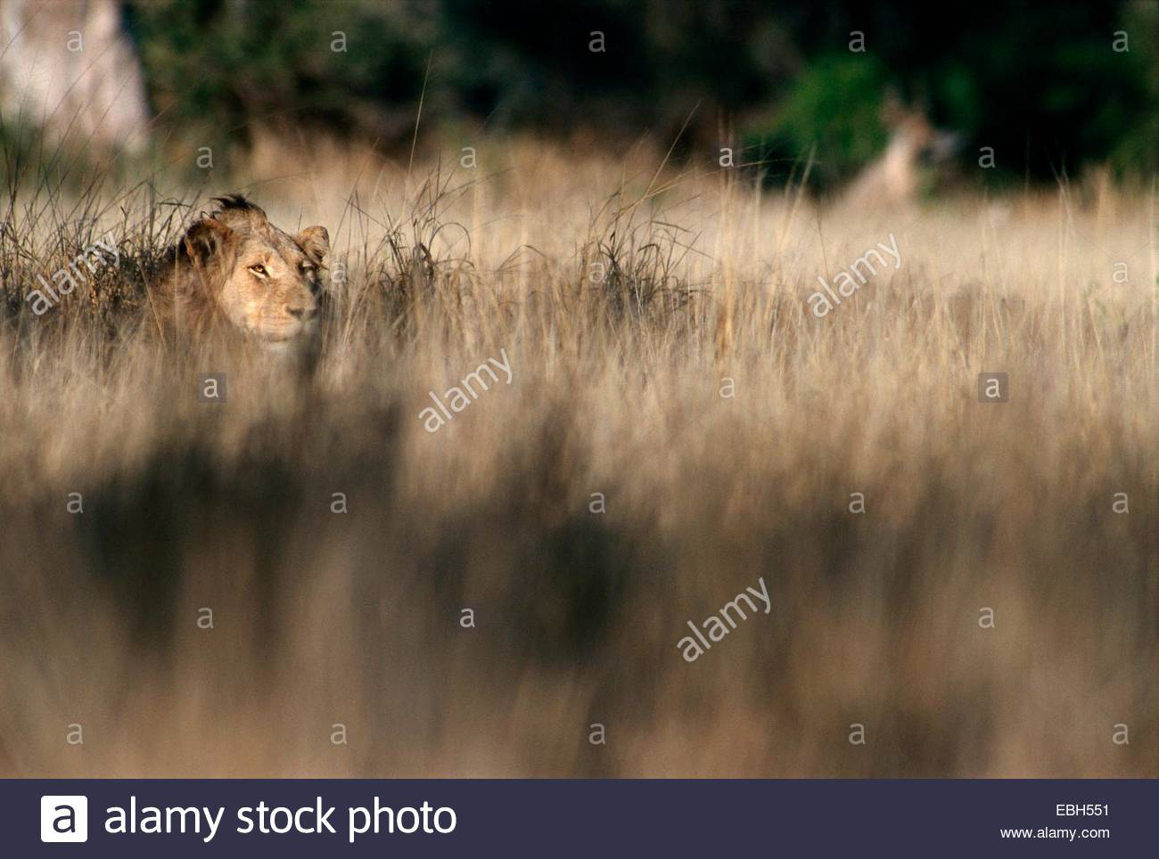 lion (Panthera leo), hunting in high grass. Stock Photo
