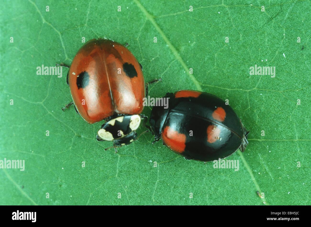 Two Spot Ladybird 2 Adalia Bipunctata Different Variations Of Marking
