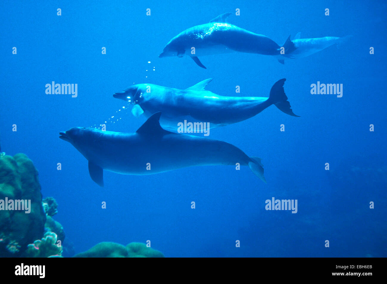 bottlenosed dolphin, common bottle-nosed dolphin (Tursiops truncatus). - Stock Image