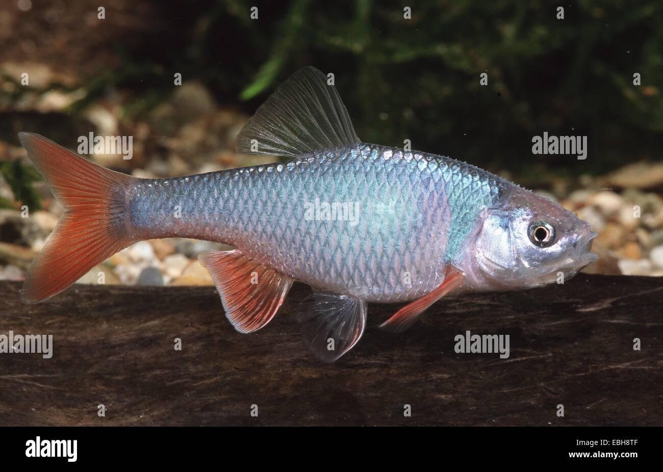 Shiner Fish Stock Photos & Shiner Fish Stock Images - Alamy