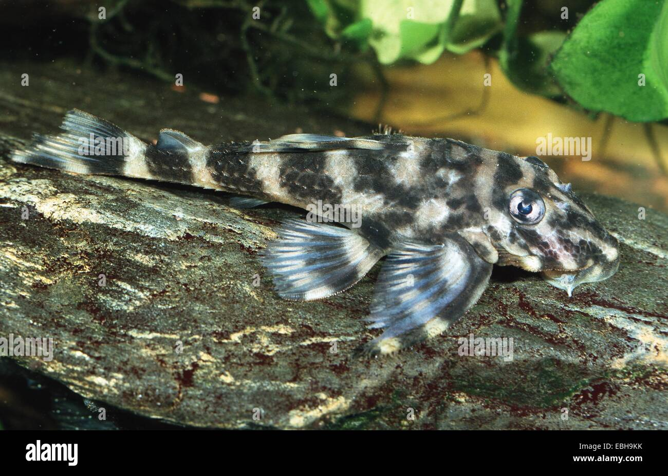 Pleco Stock Photos & Pleco Stock Images - Page 2 - Alamy