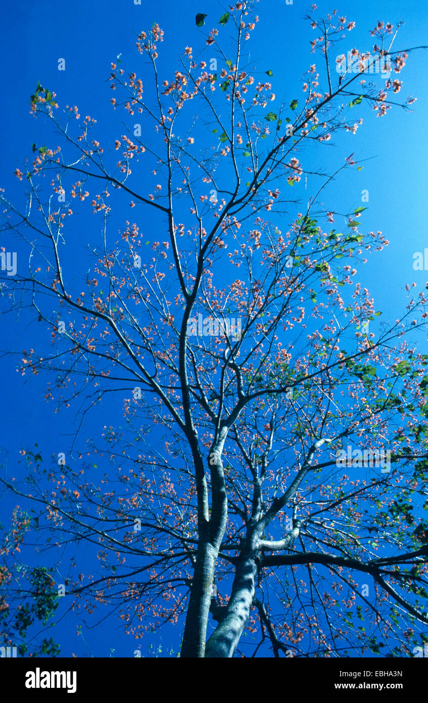 mountain immortelle (Erythrina poeppigiana), blooming tree against blue sky. Stock Photo