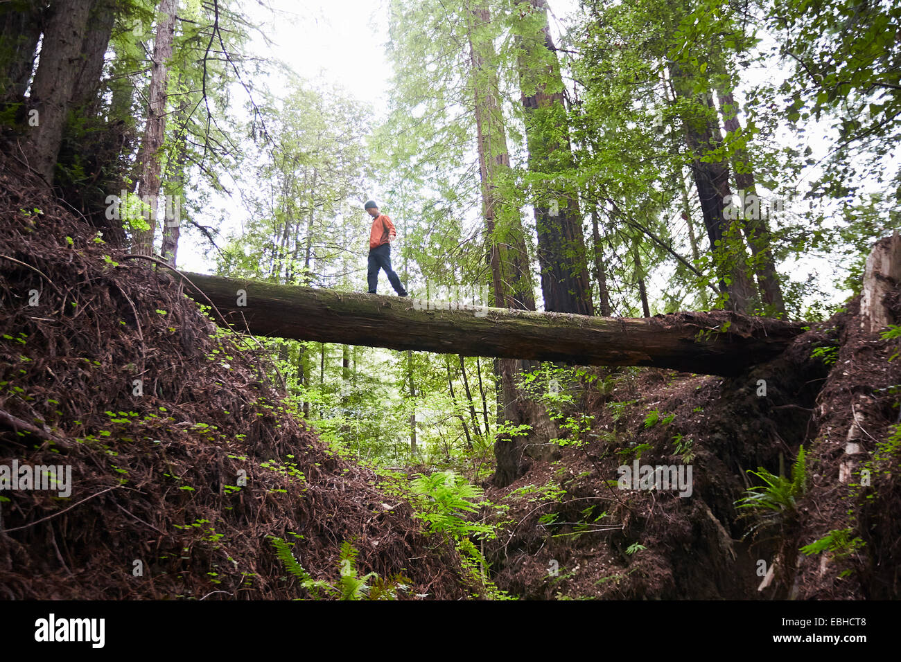 Man crossing fallen tree trunk, Humboldt Redwoods State Park, California, USA - Stock Image