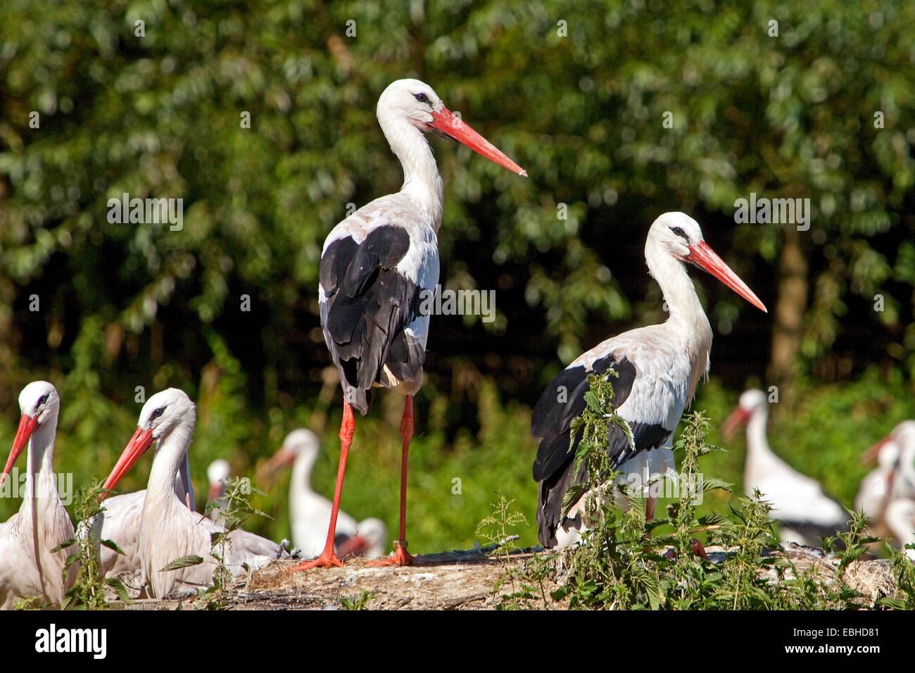 white stork (Ciconia ciconia), several storks in a meadow, Germany, North Rhine-Westphalia - Stock Image
