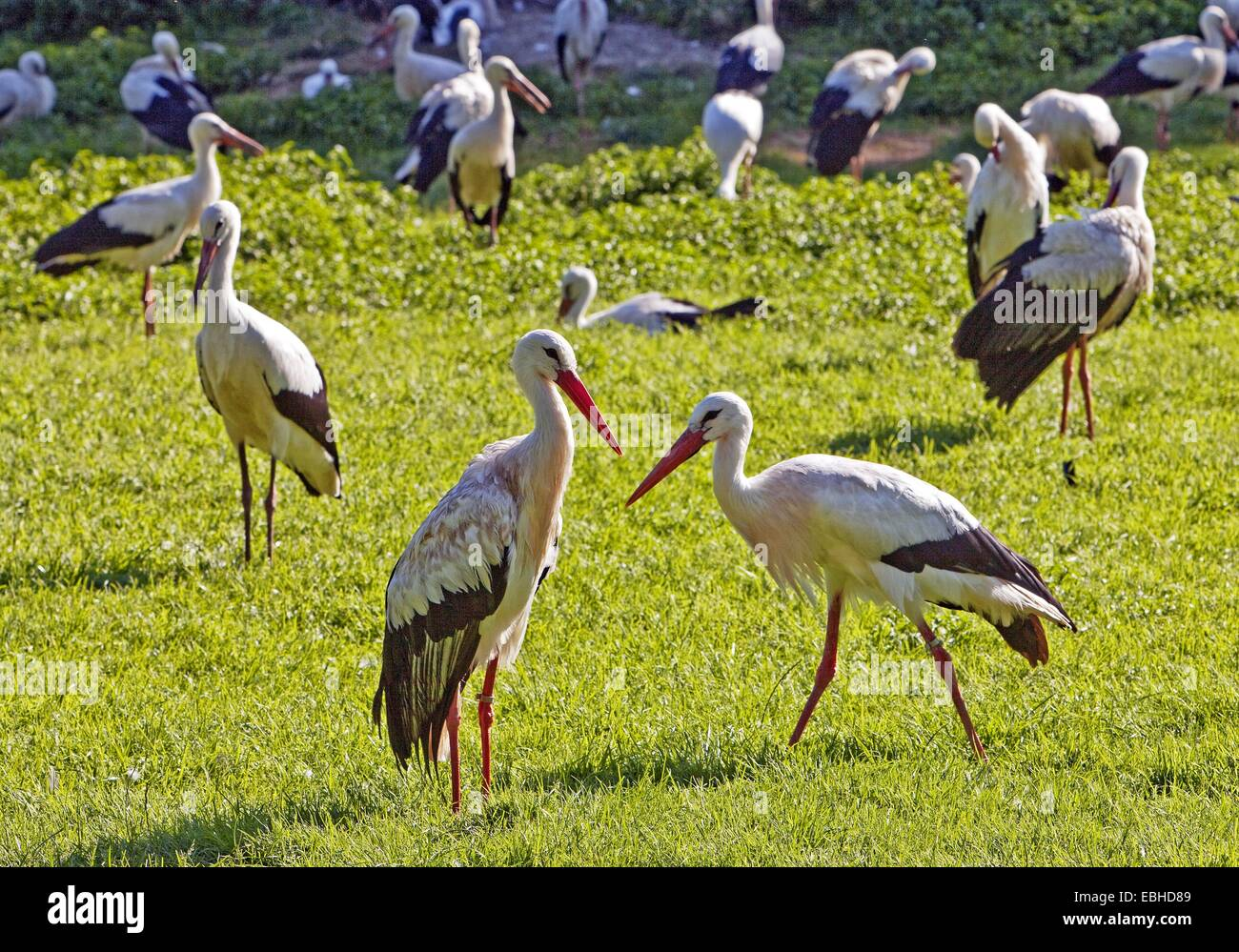 white stork (Ciconia ciconia), large group in a meadow, Germany, North Rhine-Westphalia - Stock Image