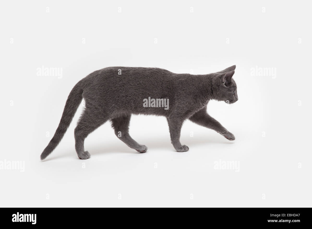 Side view studio shot of stealthy russian blue kitten - Stock Image