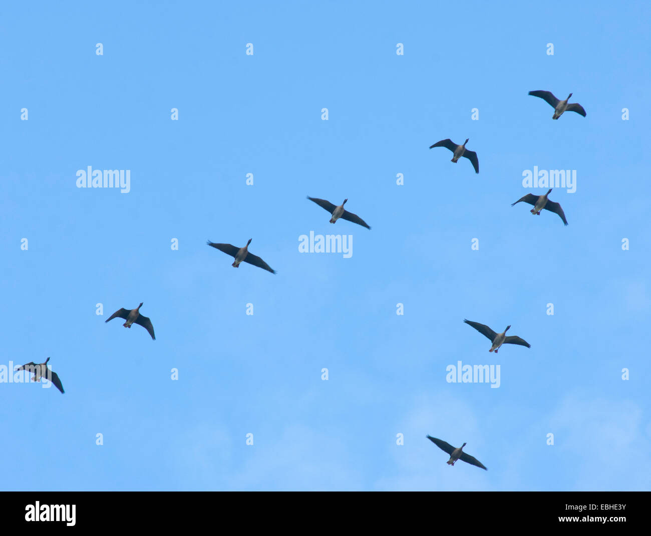 Formation of migrating geese - Stock Image