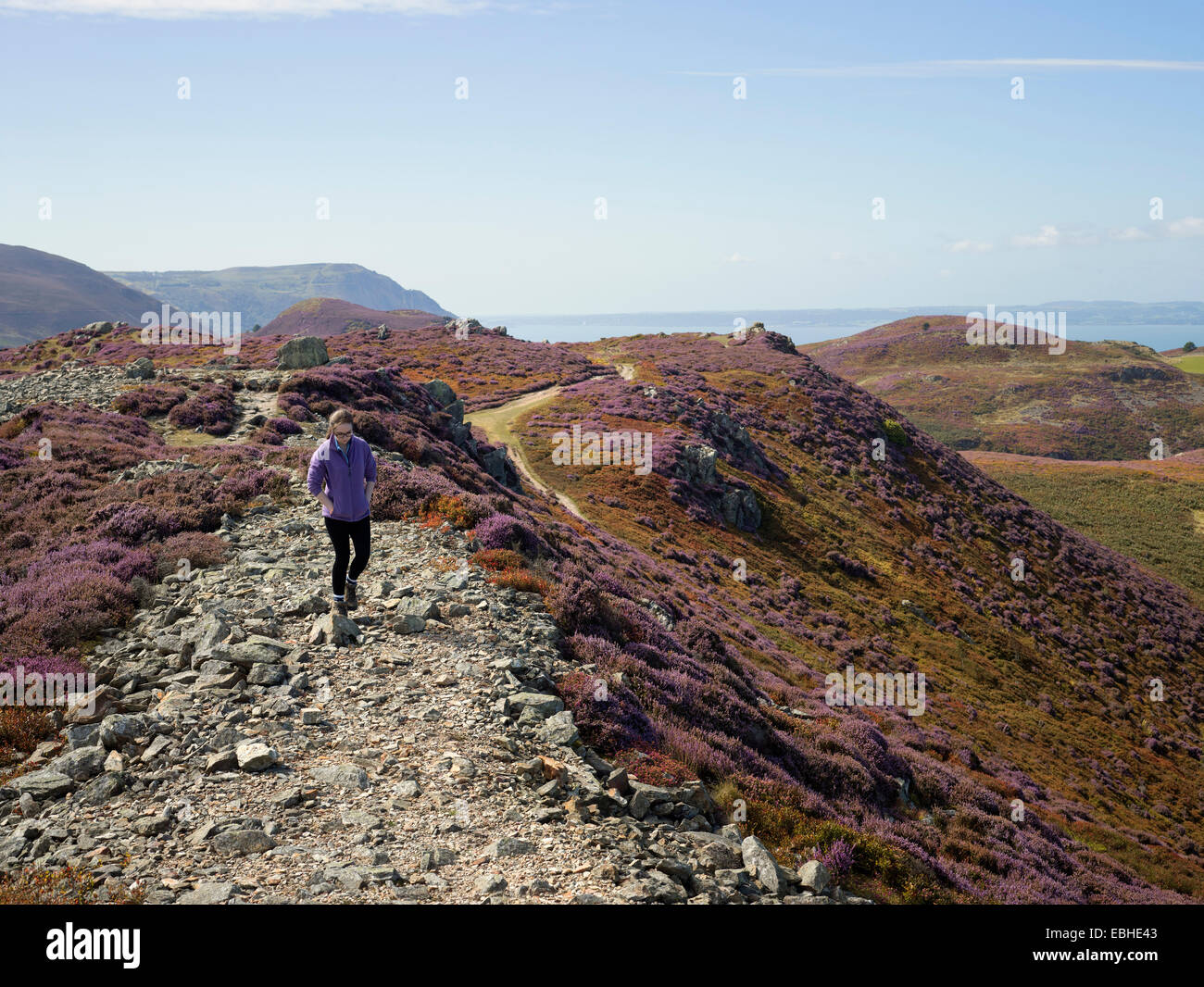 Walker in heather landscape, Conwy Mountain, North Wales - Stock Image