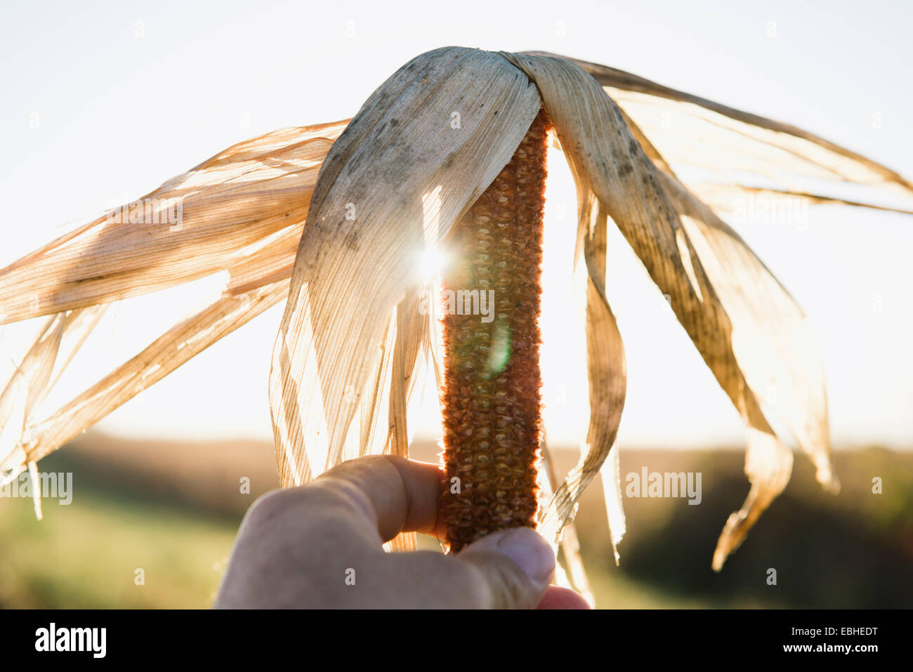 Close up of male farmers hand holding dried corn cob in field - Stock Image